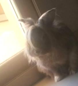 GUCCI Papy lapin de 8 ans. Au refuge suite à l'expulsion de son maître. Vivait en liberté dans l'appartement. Un vrai petit chien lorsqu'il a confiance en la personne qui s'occupe de lui. Offrez lui une retraite heureuse....Il compte sur vous !