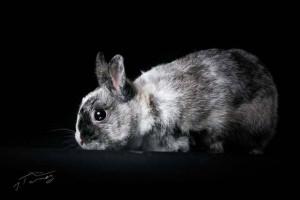 JOLI COEUR SOS Cet adorable petit lapin de taille xxs n'a pas eu de chance et suite à un accident il à été amputé d'une patte avant. Il se débrouille très bien malgrès tout. Il est super gentille, un lapin chien qui aime la compagnie et vous suivre de partout. Venez vite l'adopter et lui offrir la joie de vivre en famille.