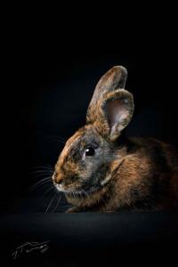 Perle Gentille et câline cette grosse lapine aimerait tellement trouver une gentille famille