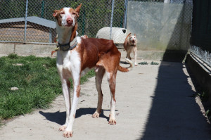 CHURRO Mâle podenco de 10 ans. Arrivé avec son frère Lucky et sa soeur Dama, leur propriétaire est décédé pendant les inondations en Espagne. Il est ok chiens, il pourrait vivre en appartement. Rescapé d'Espagne il pourra partir dans quelques semaines. Vous pouvez déjà venir le rencontrer.