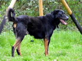 BOY Mâle Beauceron de 4 ans Ce grand et beau chien est encore un peu tout fou mais gentil. Il a besoin d'être en confiance car il est juste un peu méfiant. Il est joueur et il est à placer en maison. Il est bon gardien