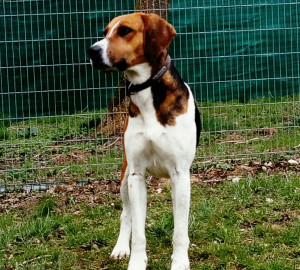COOKEO Mâle de type Beagle Harrier d'environ 8 ans. Trouvé mais pas réclamé il demeure encore craintif ...Sa vie n'a sûrement pas été facile jusque là. Nous espérons lui trouver une gentille famille  qui lui donnera confiance et l'aimera .