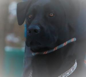 DESTIN Magnifique mâle croisé Cane Corso Labrador de 2 ans. Il attend une nouvelle  avec  impatience. Il est vif et joueur. A quelques bases d'éducation. Ok avec femelle. Ne s'entend pas avec les chats.