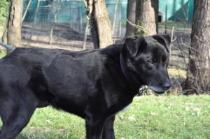FRANKLIN Mâle de 9 ans croisé Labrador trouvé accidenté.  Très bientôt au placement ce gentil  toutou attend une gentille famille.