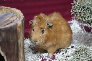 EDGARD Petit mâle cochon d'inde de 6 mois arrivé avec Edmon.