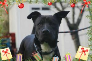 GIZMO De retour au refuge notre Gizmo  croisé Labrador de 3 ans ne comprend pas ce qui lui arrive. Il est gentil, il a besoin de calme et d'un présent pour lui.