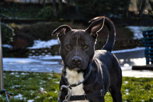 GUIZMO Mâle croisé Labrador de 2 ans. Il est assez indépendant  et un peu têtu mais il est aussi plutôt obéissant, il a des bases d'éducation et  aime jouer .