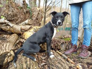 HARKO Mâle de  6 mois de retour au refuge pour raisons familiales. Il a besoin d'un maître sportif , il s'entend avec les autres chiens il est  très sage en voiture.