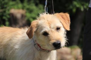 Futé Mâle croisé Griffon de 3 ans. Très gentil. Habitué aux autres chiens.A placer en maison ou avec un maître sportif .