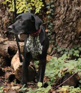 NINJA  (ex Madanda )  De retour au refuge après 4 mois dans sa nouvelle famille ce beau croisé Braque de 12 mois est vraiment  triste d'être de retour au refuge et ce à cause de la mésentente avec l'autre chien. Il est plutôt réservé et affectueux. A placer en maison.