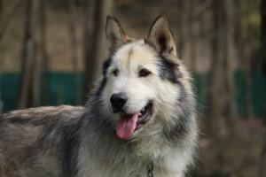 KENZO Magnifique croisé Husky de 5 ans. Après un passé très douloureux il mérite de trouver une gentille famille qui prendra bien soins de lui. Il s'entend très bien avec les chats, les chiens et les enfants. Ok en appartement si vous aimez les grandes balades. Il est arrivé avec ses deux amis Bambou et  Shana.