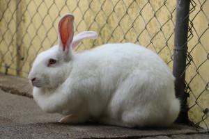 EGLANTINE SOS pour cette lapine issue des Laboratoires. Au  refuge depuis plusieurs mois , elle a fait énormément de progrès et nous suit de partout . Vous qui avez bon coeur et avez envie d'aidez un animal qui n'a pas eu la vie facile offrez une seconde chance à Eglantine svp .