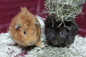 EDMON Cochon d'inde de 6 mois  ( le noir) arrivé au refuge avec Edgar