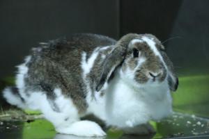 PEPINNA Femelle lapin Bélier de 3 ans d'une extrême . Propre, gentille avec les enfants.