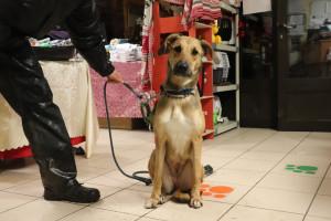 NALA Femelle croisée Labrador de 10 mois . Elle est au refuge suite au décès de son propriétaire. Chienne adorable qui a tout pour combler votre famille.