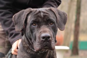 L'URGANDALE Femelle Très Grande 2 ans : Cane Corso. Elle a cruellement manqué d'Amour et de soins. Arrivée au refuge en état de cachexie extrême. A placer avec une famille douce et aimante. Ok autres chiens.