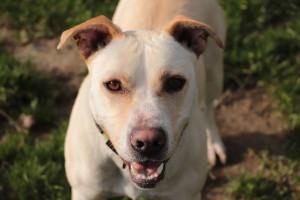 NINA Nouvelle au refuge, cette chienne croisée Labrador est  vraiment très sympa. Joueuse et câline, elle n'aime cependant pas les chats . A tester avec les autres chiens ....