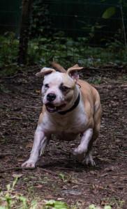 ROXIE     Femelle moyenne née en avril 2019, staff, chienne de 1ere catégorie.     Roxie est une glue, elle adore qu'on s'occupe d'elle et que d'elle, elle sera très attachée à ses futurs maitres. Elle n'aime pas être seule. Elle est à placer sans jeunes enfants auprès de maitres présents et prêts à prendre en charge ses problèmes d'anxiété. Elle est ok chiens mais elle très anxieuse donc un test est à prévoir. Ayant vécu en chenil elle ne connait rien de la vie de famille. pas ok chat. A placer sous contrat de garde.