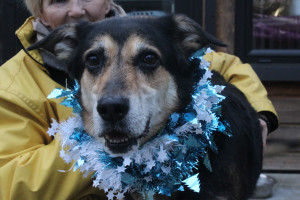 KAYSER Mâle Grand 8 ans : Kayser est un chien très attachant et très actif. Il a besoin de bonnes balades et de vivre en maison de préférence. Il préfère vivre sans autres animaux. Il est habitué aux enfants.