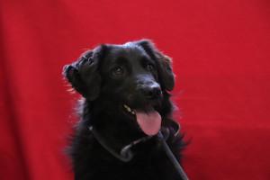 PEPITA Femelle de 2 ans , sauvée d'une fourrière de Serbie. Très gentille mais timide. Ok avec les autres chiens. A besoin d'un maître patient et calme.