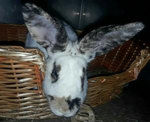 LUCIEN Magnifique lapin nouveau à l'adoption