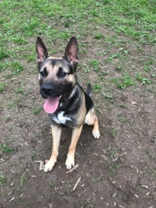 Titan Mâle 2 ans   il est très gentil et assez sociable avec les chiens. Il aime jouer et il est à placer en maison.