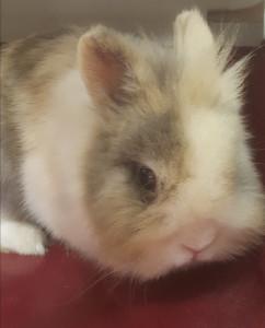 MERMOZ Nouveau à l'adoption ce petit lapin aux allures de peluches est vraiment craquant. Il a un peu de caractère . A placer contre remboursement frais de castration .