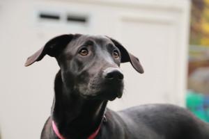 OLI Jeune croisé Labrador de 6 mois. Ok  chiens et enfants. Un amour de toutou