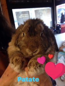 PATATE Pour les amoureux de lapins. Mâle Lapin Bélier de 2 ans.  A l'adoption à partir du 18 mars. Tellement adorable qu'il est difficile de ne pas craquer.