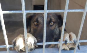 PLUTON Si vous croisez son regard vous ne pourrez que craquer ! Ce chien adorable va être au placement vers le 29 Aôut.