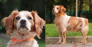 RHUM Mâle Epagneul Breton de 9 ans  adorable arrivé avec la chienne Endy qui elle a trouvée une famille.. Ilest à placer en maison clôturée, il n'est pas ok chats. Il compte sur vous