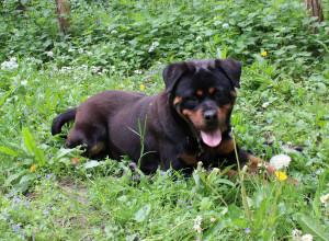 RIA Femelle Rottweiler de 11 mois, bientôt à l'adoption