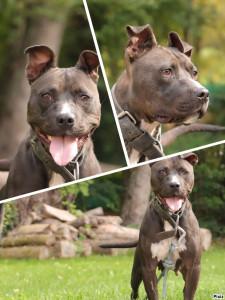 SHIVA Femelle croisée American Staffordshire Terrier de 2 ans à placer en contrat de garde ( renseignements à l'accueil ). Très affectueuse et gentille . Elle a aussi de l' énergie à revendre. A placer avec un maître expérimenté