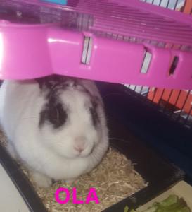 OLA A l'adoption à partir du 25  mars. Lapine très gentille.
