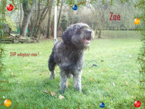 ZOE Adorable chienne de taille moyenne croisée Griffon de 3 ans. Au refuge elle fait fondre bien des coeurs. Venez vite faire sa connaissance elle ne devrait pas rester très longtemps.