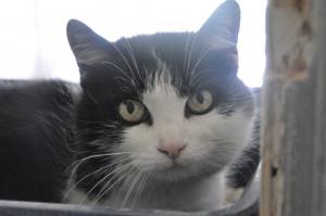CHOUPETTE SOS Mamy chat de 15 ans, timide mais câline à placer à personne calme pour une retraite heureuse ! Venez vite l'adopter car à cet âge la vie en box et encore plus dur à vivre.