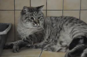 CLARENCE Gros matou de 6 ans. Croisé Siamois. Très beau et très gentil. A placer en maison sans autres chats.