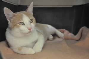 COOPER De retour au  refuge ce beau minou a besoin de temps pour vous accorder sa confiance. Il n 'a que 12 mois et s'entend avec les autres chats.