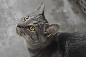 ZAZOU Magnifique minet de 2 ans . Sa robe d'un gris tigré bleuté et ses magnifiques yeux ambres  le rendent irrésistible. Il peut vivre en  maison et la présence des autres chats ne le dérange pas.