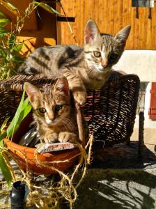 DORA et CALIMERO Nouveaux à l'adoption Dora et son petit frère vous attendent au refuge. Ils peuvent partir à l'adoption séparément . Il sont 2 mois 1/2.