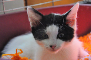 Python  Mâle de 3 mois Gentil, câlin, joueur, le chaton parfait pour une petite famille.