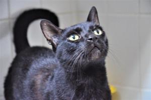 Salem Mâle de 8 ans. Un matou d'une extrême douceur, hyper affectueux et curieux. Il a l'air d'apprécier la compagnie des autres chats mais celle qu'il aime par dessus tout est celle des Hommes.