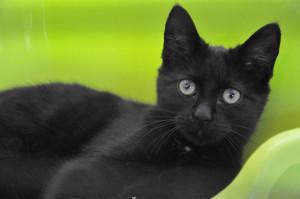 Luciole Adorable chatonne de 3 mois. Une petite fripouille qui adore jouer, faire des câlins. Bientôt à l'adoption, venez vite la rencontrer.