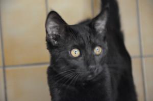 Peeweez     Femelle de 3,5 mois. Très gentille, câline et joueuse. La chatounette parfaite pour une petite famille.