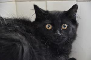 Pepper  Mâle de 3 mois Très craintif, il est pour le moment stressé et ne se laisse pas toucher, mais il vient d'arriver laissons lui le temps de se détendre. Bientôt à l'adoption.