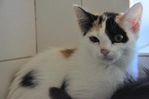 Penny  Femelle de 3 mois  Très timide pour le moment, elle est tout de même curieuse. Bientôt à l'adoption.