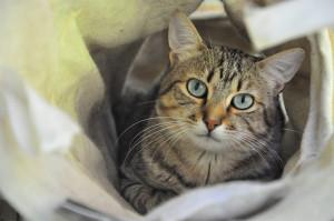 MONTAGNE     Mâle de 2 ans , craintif pour le moment . Il recherche une famille patiente qui saura lui laisser le temps. Extrêmement gourmand, sociable avec les autres chats. Ce beau minou au magnifique regard ne vous laissera pas indifférent !