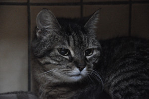 AQUA Femelle de 6 ans . Elle aime l'exclusivité et n'accepte pas les autres chats. Une boule de tendresse.