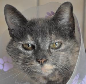 Filiz Femelle écaille de tortue pastel 6 ans Minette très gentille et câline, elle a tout de même son petit caractère. Elle peut convenir en appartement. Elle est à placer sans autres chats.