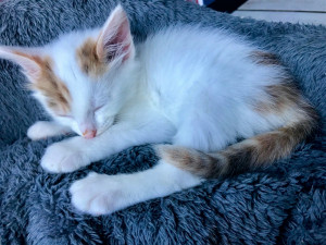 Perle Femelle de moins de 2 mois  Douce et câline, elle a déjà un petit caractère qui fait tout son charme. Elle se trouve en famille d'accueil pour terminer son sevrage. A l'adoption à partir du 9 septembre, vous pouvez déjà venir la rencontrer.